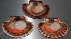 scallops 12-10-14